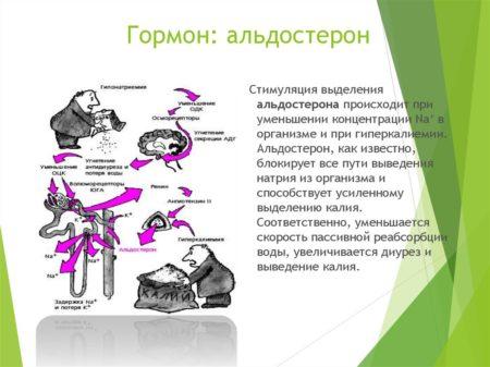 Схематическое изображение работы альдостерона